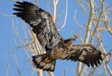 Squaw Creek Eagle