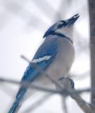 Snowstorm Bluejay