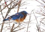 Winter Bluebird (4)