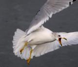 Unusual Gulls (5)