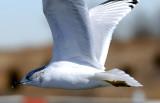 Ring Billed Gull Closeup...