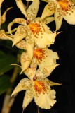 Dancing Doll Orchid