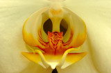 Tom's Moth Orchid
