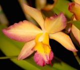 Corsage Orchid