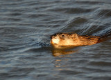 Squaw Creek Muskrat (2 images)
