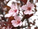 Crabapple Spring