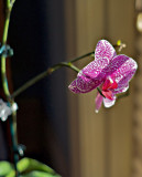 Orchid variety