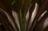 Jungle Palm, Kauai