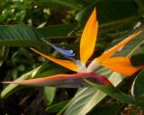 Kauai, Bird of Paradise