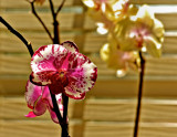Pete's Orchid