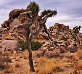 Joshua Tree Landscape