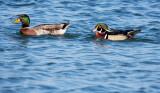 Mallard and Wood Duck.