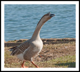 Wait for me!, female goose