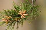 Pine Blooms