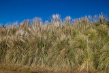 Pampas Grass on hill side