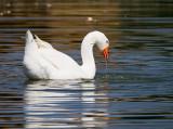 Swan goose 1