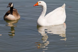 Swan goose/ male and female