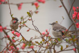 Chipping Sparrow and Mockingbird