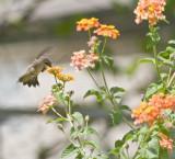 Hummingbird at flowers