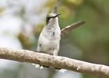 Resting hummingbird, rubythroat
