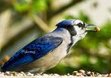 Male Blue Jay