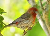 Male House finch