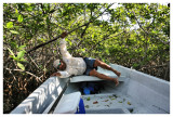 Crawling out of the Mangroves