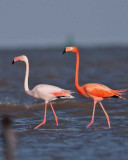 Greater Flamingo Gallery