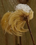 Clematis seed head .
