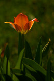 First tulip in my front yard.