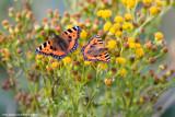 Tortoishell Butterflies on Ragwort