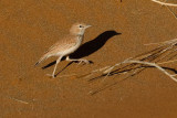 Dune Lark