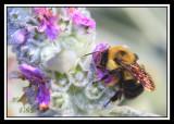 BUMBLE BEE ON LAMBS EAR-2564.jpg