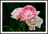 WHITE AND PINK DOUBLE TULIPS_2208.jpg
