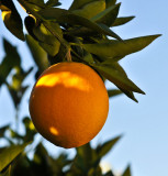 The First Oranges