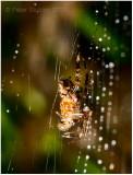 Spider in the rain.