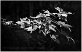 Sunlit maple leaves.