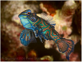 Mating mandarin fish.