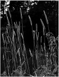 Backlit grass (recrop).