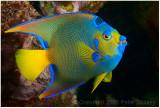 Queen angel fish.