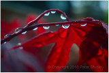 Japanese maple drops.