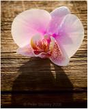 Orchid on cedar