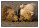 Grizzly Bears, Wild Alaska