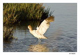 Avicet in breeding plumage