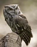 Screeching Owl