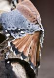 Kestrel with open plumage