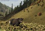 My first yak sighting on Pela La [Pass]