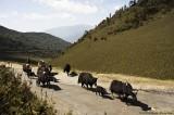 Yak herd on Pela La