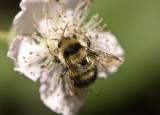 Bumblebee on raspberry flower