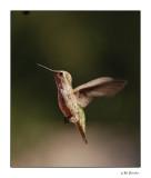 Hummingbird_582a